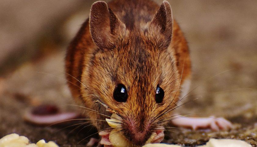 Rat brun